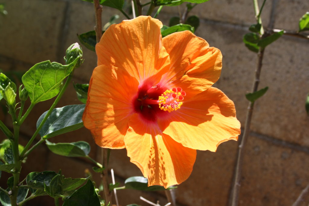 Hibiskusblüte orange Hawaii