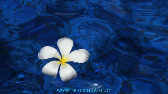 Plumeria Wasser