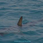 Hawaiianische Mythen und Legenden – Blogreihe Teil 4 – Der Haimann