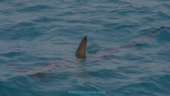 Der Haimann - Haiflosse